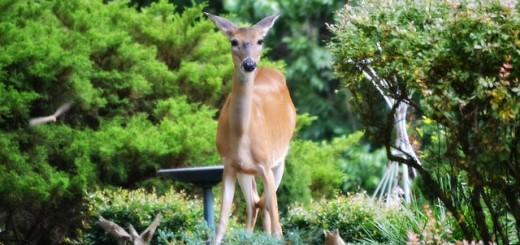 deer-427543_640